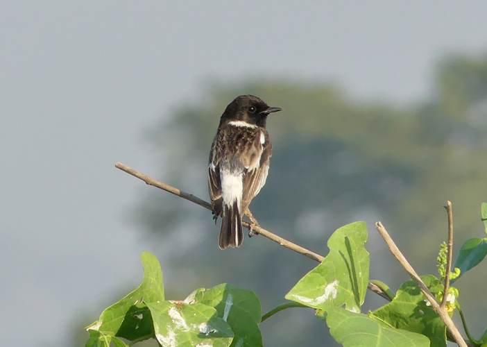 White-tailed-stonechat2