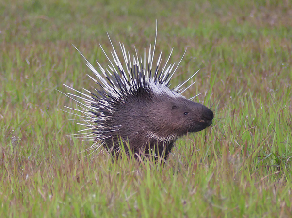 porcupine asian singles Keep up to date with the latest sightings in the kruger national park we offer 3 for 2 accommodation specials and earn money through your wildlife videos.